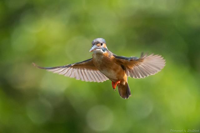 20180630-kingfisher-DSC_5421