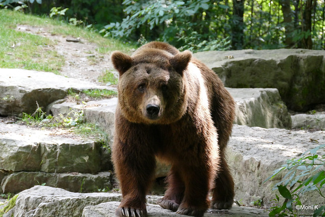 19-Europäischer Braunbär