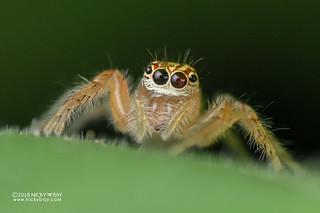 Jumping spider (Brancus mustela) - DSC_6050
