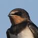 Swallow, Juvenile (Hirundo rustica)