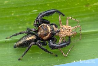 Jumping spider (Thyene bucculenta) - DSC_3178