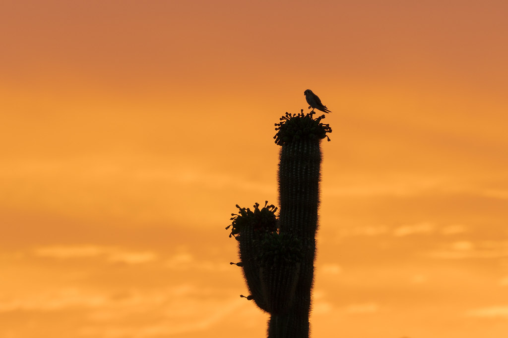 An American kestrel perches on a saguaro cactus at sunrise along the Vaquero Trail in the McDowell Sonoran Preserve in Scottsdale, Arizona