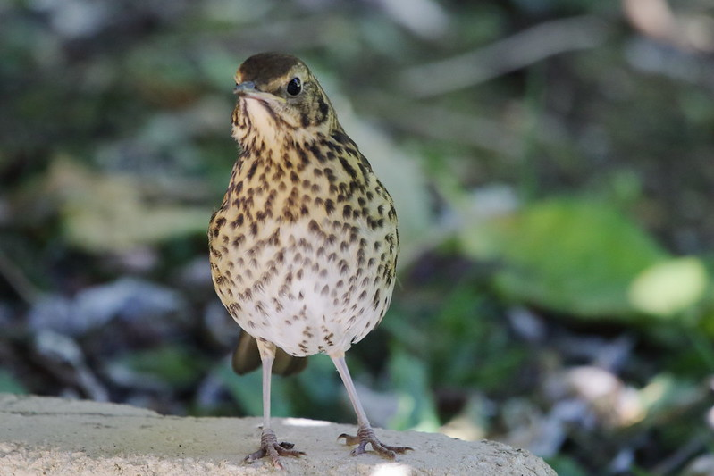 Thrush on patio wall