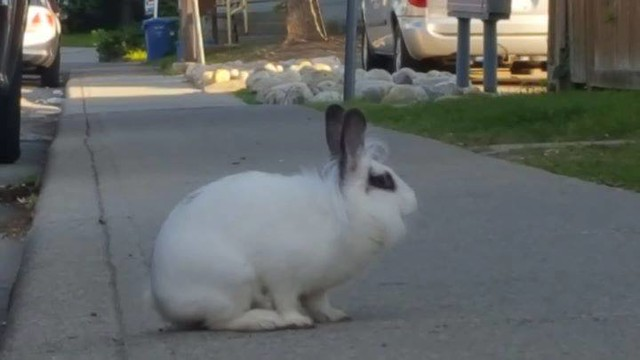 SIGHTING white with dark strip Rabbit in #Edgemont pls rt watch share YYC Pet Recovery shared Tami Lynne's post. I just saw this little fellow in Edgemont near the houses behind Superstore. Very friendly and approached me but could not catch him as a car