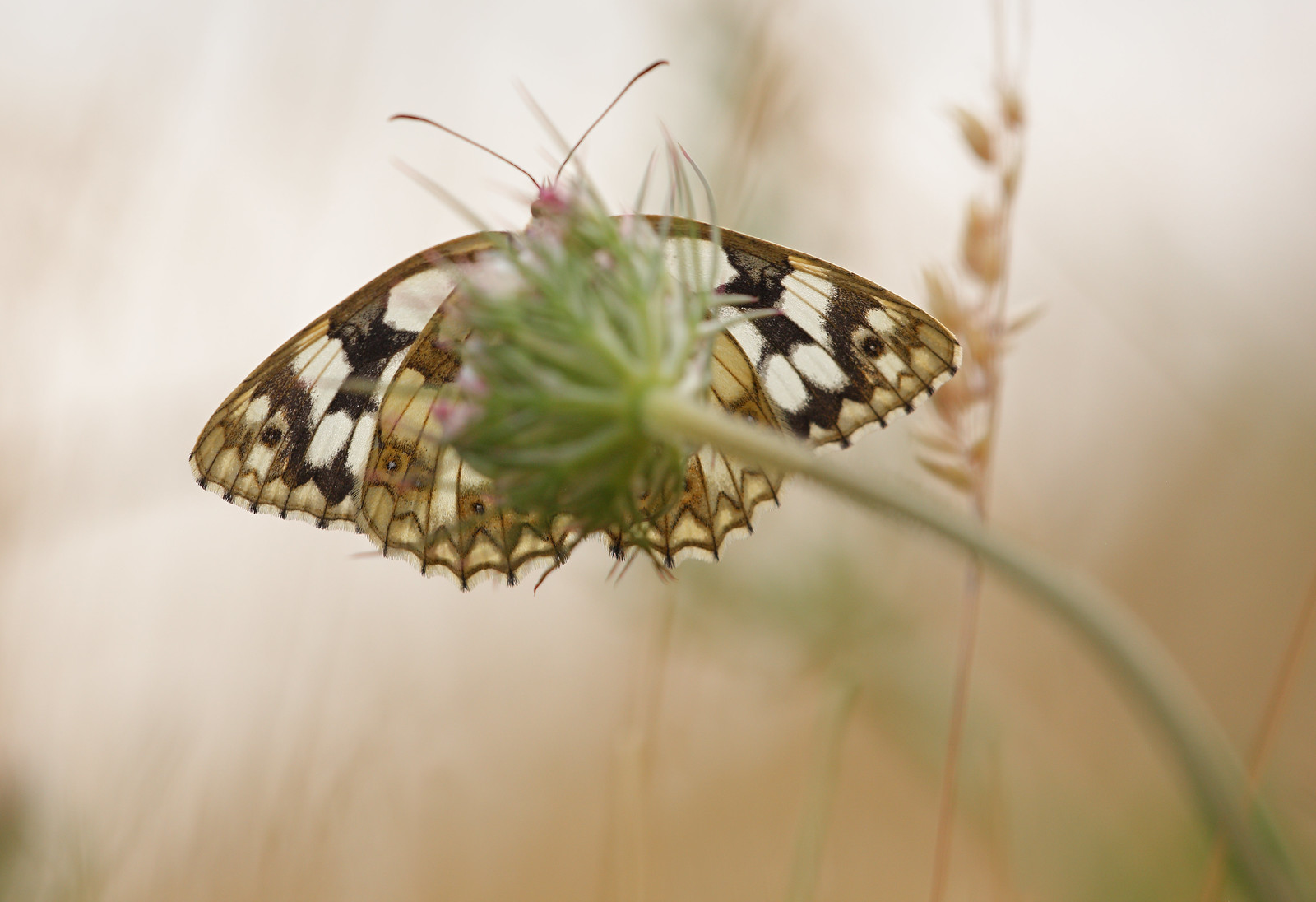 Marbled White from below