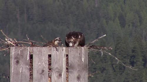 Feeding JR.Osprey...Video