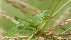 Great Green Bush-cricket (Tettigonia viridissima) male