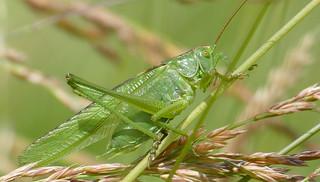 Great Green Bush-cricket (Tettigonia viridissima) male