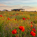 Yorkshire Poppies