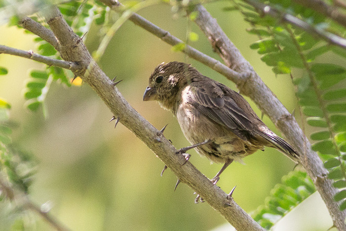 9328 Unknown Seedeater