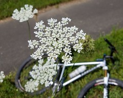 2018 Bike 180: Day 95 - Queen Anne's Lace