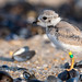 Piping Plover | 2018 - 35
