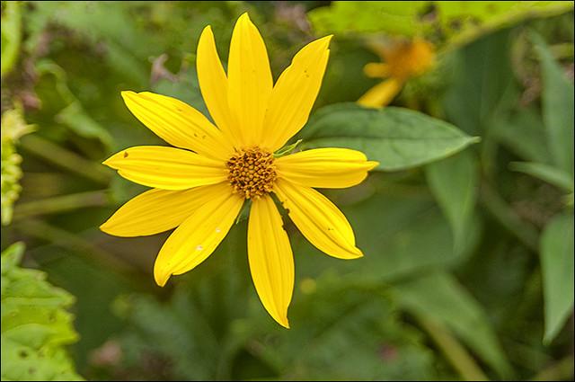 20180808_yellow_wildflower