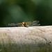 RSPB Ham Wall-Dragonfly