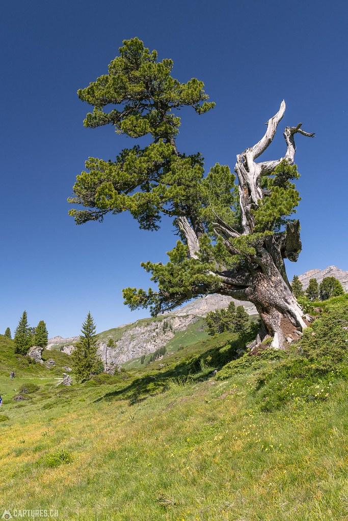 Tree - Engstlensee
