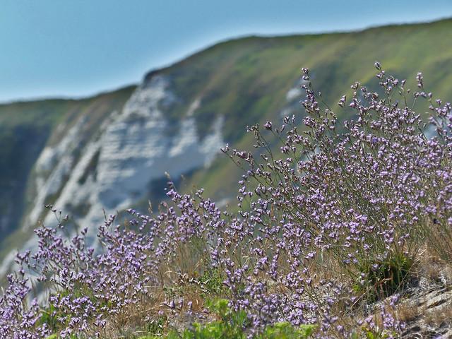 Rock sea-lavender Limonium binervosum