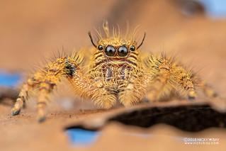 Jumping spider (Hyllus cf. treleaveny) - DSC_5399
