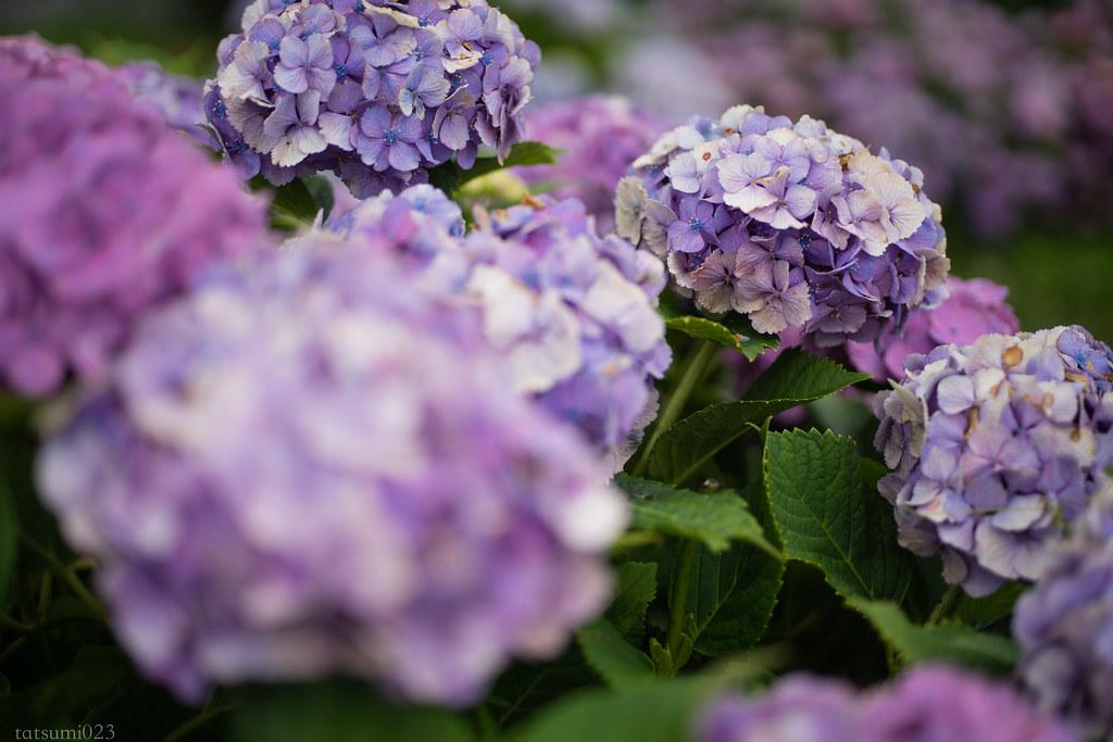 2018-06-16 開成町の紫陽花 007