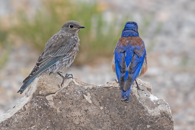 Western-Blue-Bird-Dad-and-Chick-58-7D2-071118