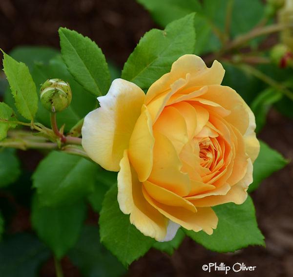 rose-golden-celebration