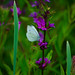Large white butterfly on loosestrife flower