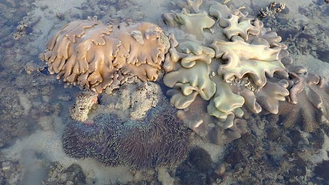 Various corals and marine life, Pulau Semaka