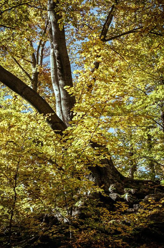 [analog] Ein Baum auf dem kleinen Burgberg