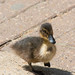 Duckling at Colchester Zoo