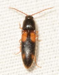 Anchastus binus