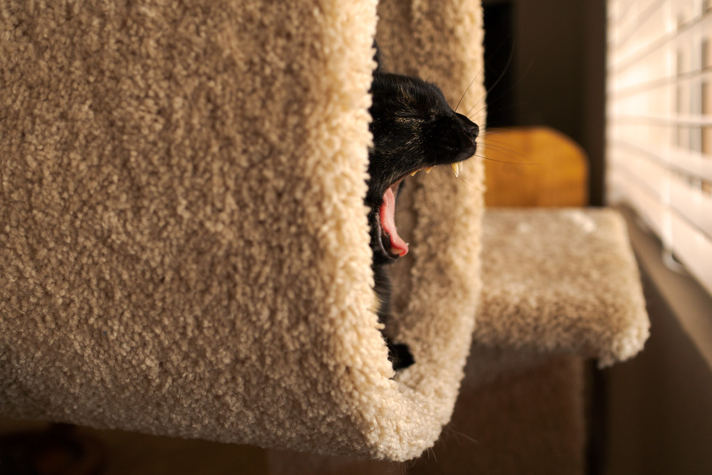 Our tortoiseshell cat Trixie yawns while sitting in the cat tree