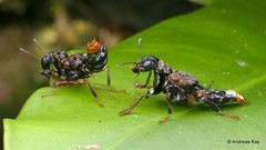 Courtship of Transvestite Rove beetles, Leistotrophus versicolor, Staphylinidae