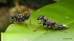 Courtship of Transvestite Rove beetles, Leistotrophus versicolor, Staphylinidae