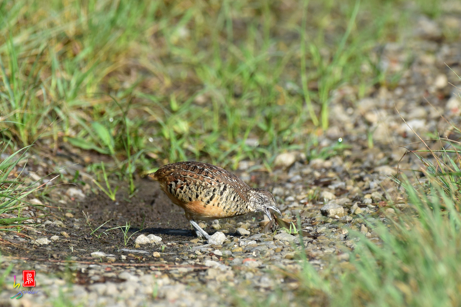 Barred_Buttonquail_3752