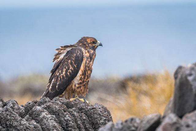 Galapagos Hawk - Juvenile, Nikon D500, AF-S Nikkor 80-400mm f/4.5-5.6G ED VR