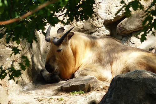 Relaxed Takin guy.. :)