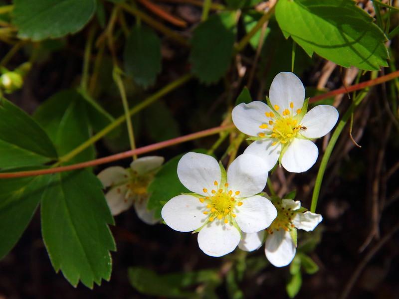 IMG_0926 Woodland Strawberry (Fragaria vesca)