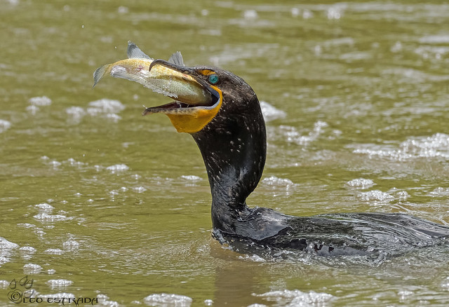 Double Crested Cormorant with Bluegill.