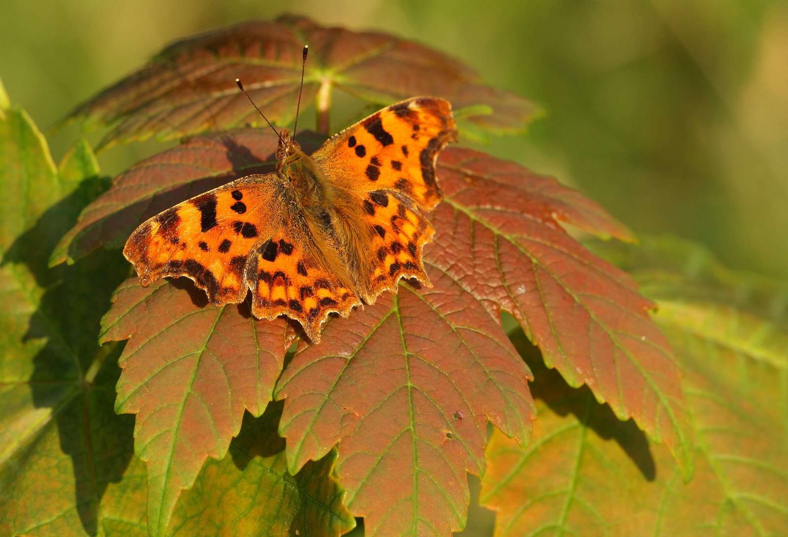 Comma Butterfly on Sycamore