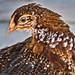 A Fowl Portrait by FotoGrazio