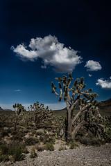 Joshua trees in AZ