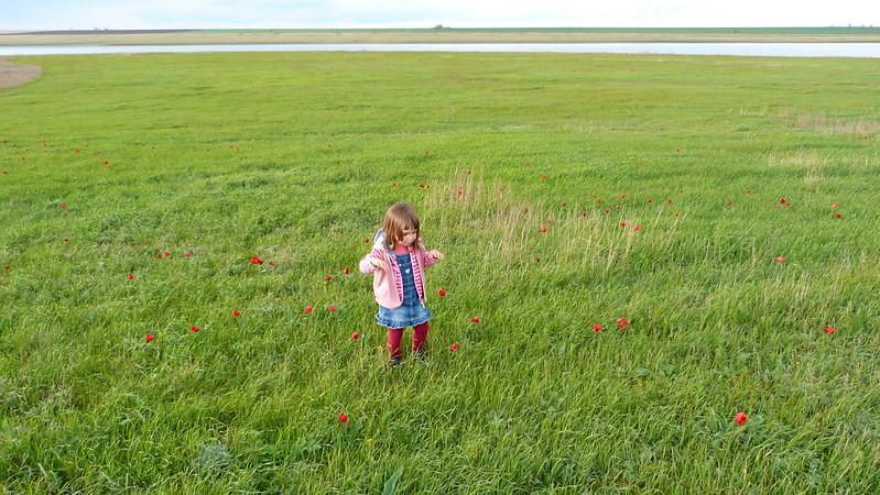 Цветение тюльпанов в Калмыкии