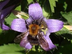 Hirsute Duo. Bombus pascuorum, Common Carder Bee, on Nettle-leaved Bellflower, Campanula trachelium, Gaasperplaspark, Amsterdam, The Netherlands