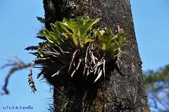 Vriesea guttata no habitat