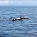 Delfines en Puerto de Santiago, Los Gigantes, Tenerife, Islas Canarias by stephane400