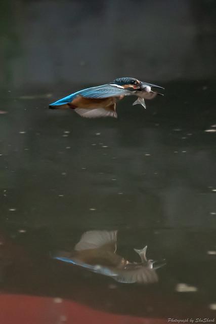 20180715-kingfisher-DSC_6443