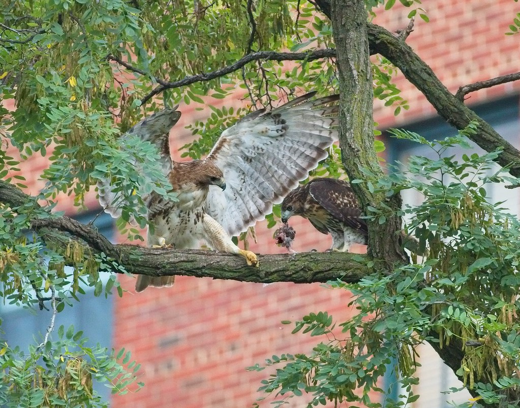 Amelia hands off prey to fledgling