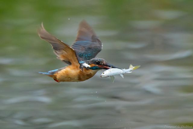 20180628-kingfisher-DSC_4620