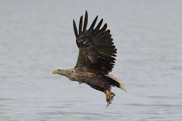 White Tailed Eagle with breakfast...