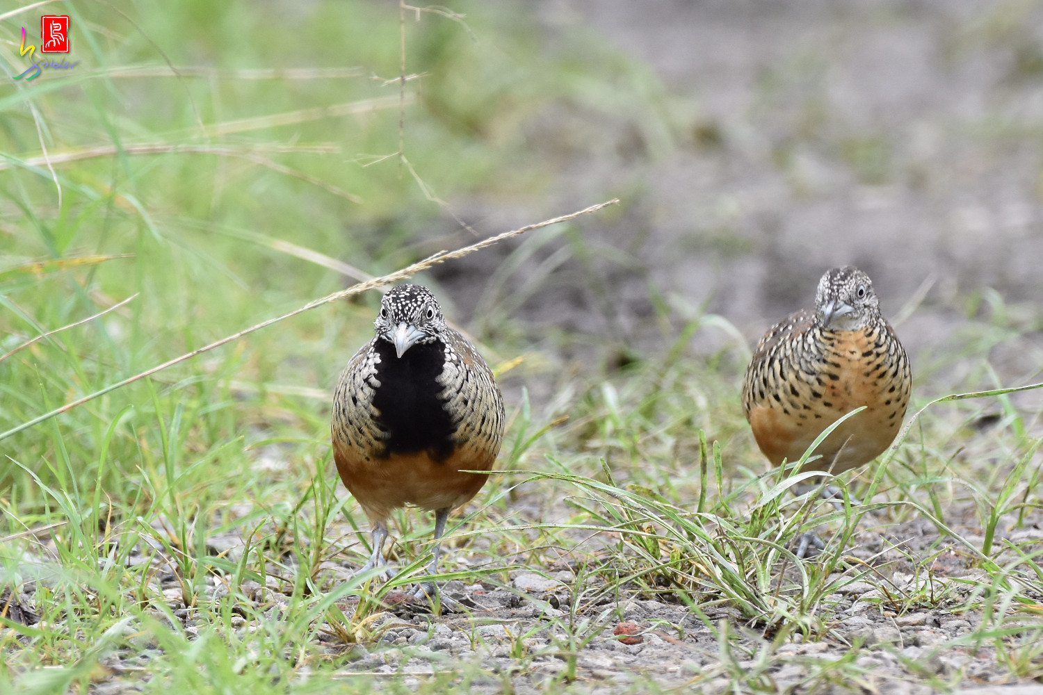 Barred_Buttonquail_5049