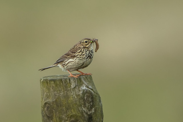 Meadow Pipit with Supper